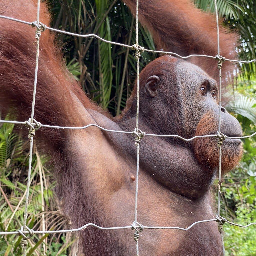 Ausflug von Costa Tours zu den Orang Utans von Bukit Merah.