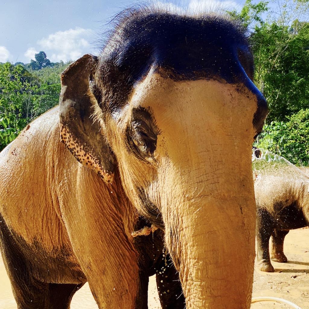 Im Elephant Retirement Park Phuket - Schlamm pur