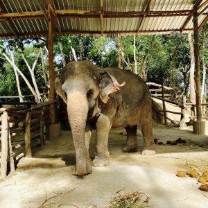 Zu Besuch im Elephant Retirement Park Phuket ein Ausflug zu den Elefanten