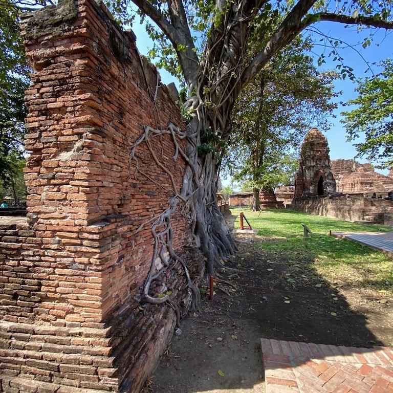 Ayutthaya in einem Tag, nähe Bangkok, Besuch Wat Mahathat, im Tempel, Feigenbaum