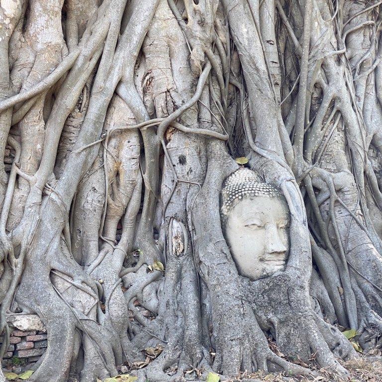 Ayutthaya in einem Tag, nähe Bangkok, Kreuzfahrt Südostasien, Besuch Wat Mahathat, Feigenbaum und Kopf im Tempel