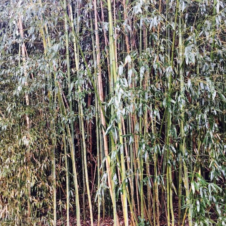 Bambus auf Avery Island