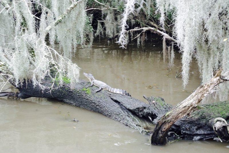 Unterwegs im Feuchtgebiet mit dem Boot und Louisiana Swap Tours, Sicht aufs Ufer und Natur mit Alligator