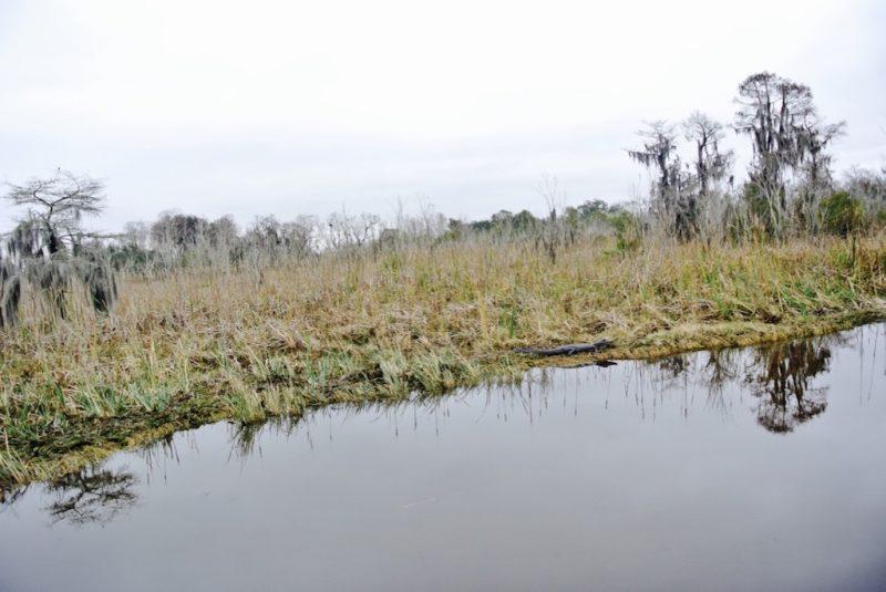 Unterwegs im Feuchtgebiet mit dem Boot und Louisiana Swap Tours, Sicht aufs Ufer und Natur mit kleinem Alligator