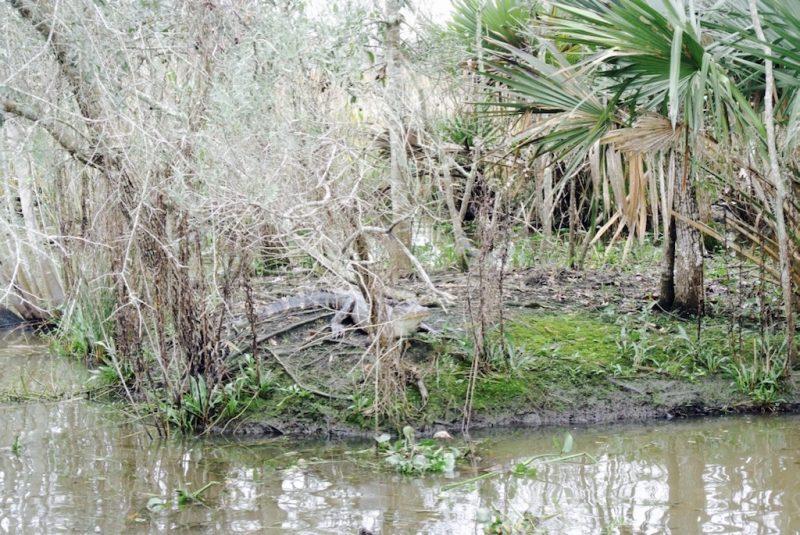 Unterwegs im Feuchtgebiet mit dem Boot und Louisiana Swap Tours, Sicht aufs Ufer und Natur und Alligator