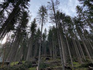 Pragser Wildsee - Wald