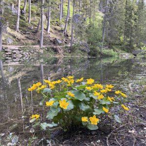 Pragser Wildsee - Blick auf See, gelbe Blumen und Natur vom Rundweg