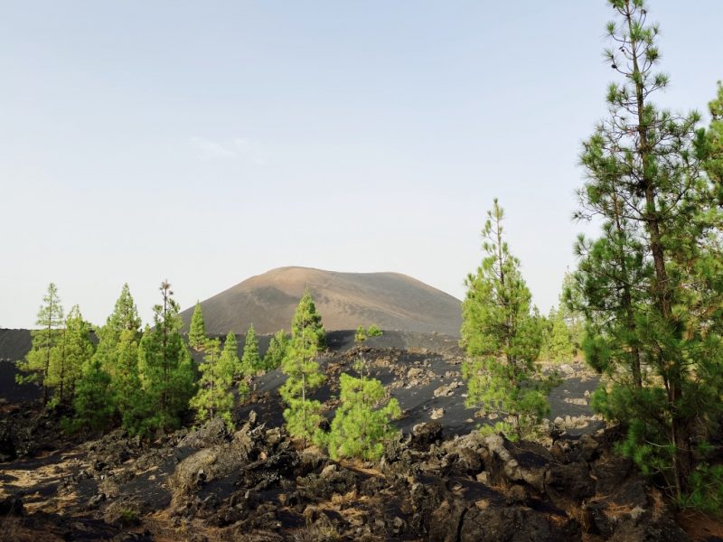 Bild mit Vulkan Chinyero Lava und Kiefern im Hintergrund