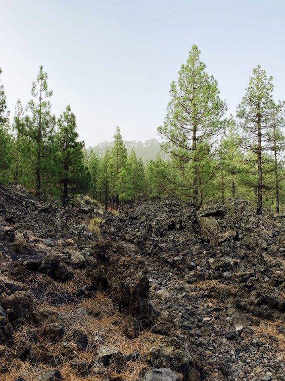 Bild mit Lava und Kiefern im Hintergrund
