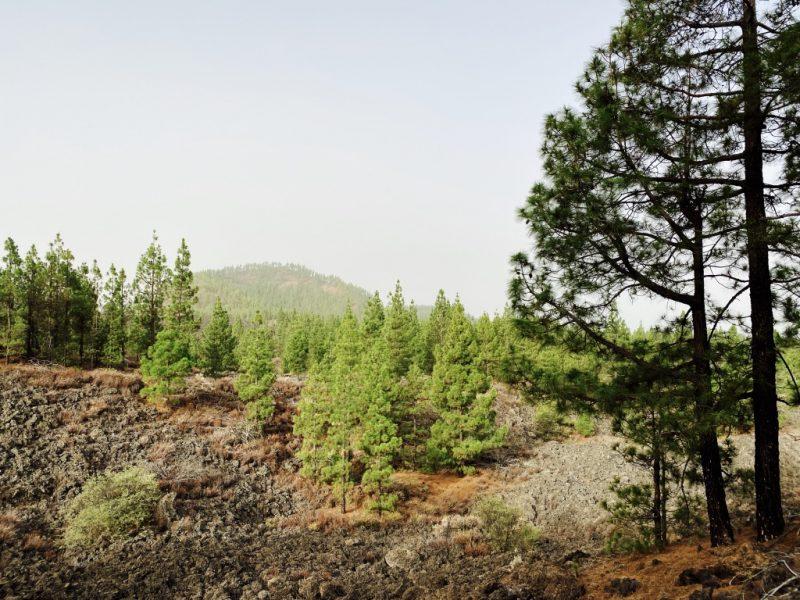 Kiefern auf Lavafeld