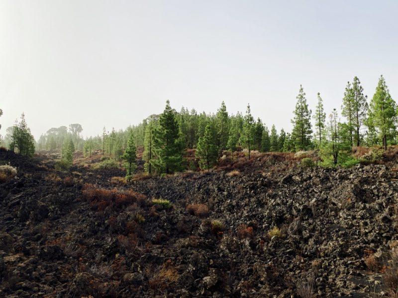Lavafeld mit Kiefern im Hintergrund
