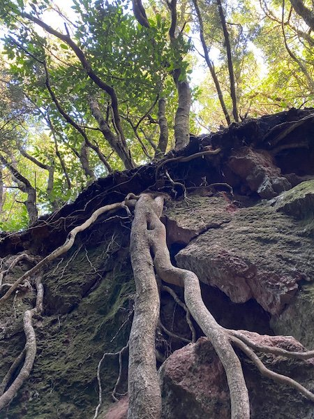 Wurzeln der Bäume am Camino Viejo Pico Inglés