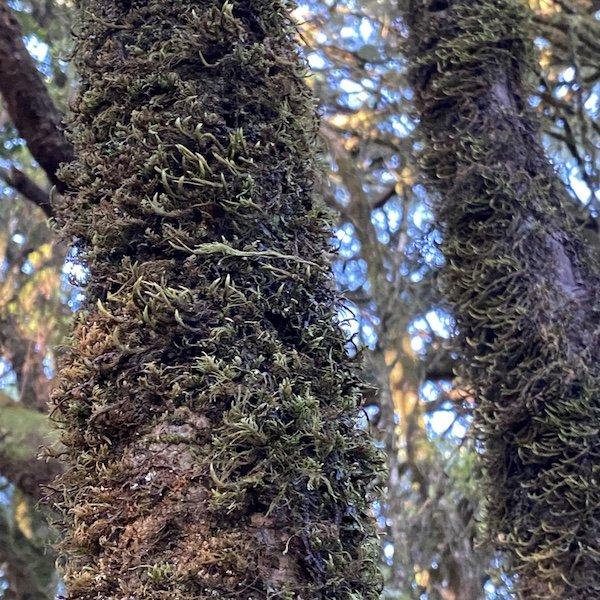 Moos und Bäume am Camino de los Sentidos auf Teneriffa