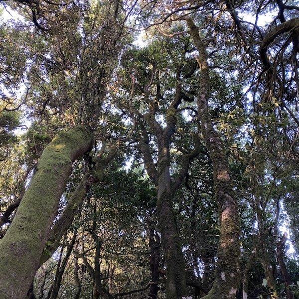 Bäume am Camino de los Sentidos auf Teneriffa