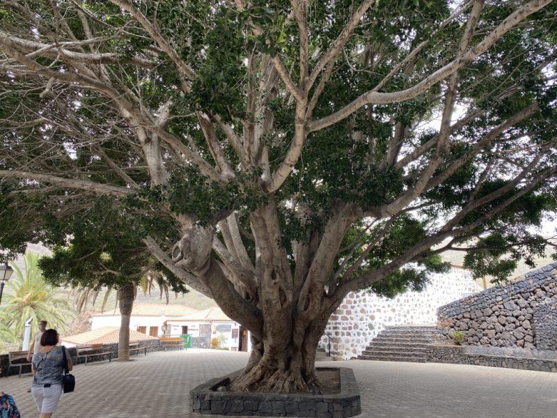 Baum auf Dorfplatz im Ort Masca auf Teneriffa
