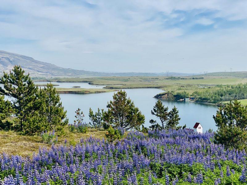 Lupinen und islaendische Natur